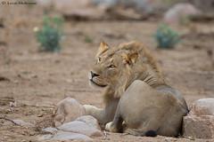 The young prince (leendert3) Tags: leonmolenaar southafrica krugernationalpark wildlife nature mammals africanlion ngc