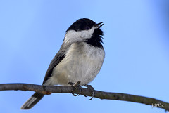 Black-capped Chickadee (jt893x) Tags: 150600mm bird blackcappedchickadee chickadee d500 jt893x nikon nikond500 poecileatricapillus sigma sigma150600mmf563dgoshsms songbird thesunshinegroup coth alittlebeauty coth5