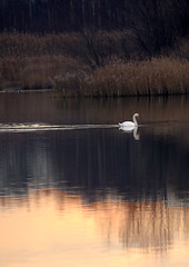 Elegance on 'Groot Rietveld' - Kallo - Belgium (roland_tempels) Tags: swan nature supershot belgium kallo naturereserve