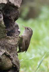 Wren (2) (Mal.Durbin Photography) Tags: wildlifephotography maldurbin naturephotography wildbirds forestfarm nature naturereserve