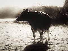 Cow (J.C. Moyer) Tags: udders farmanimal farm fauna nature field animal lumix panasonicdmcgx80 blackandwhite cow