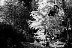 collecting the sunlight (Fearghàl Nessbank) Tags: nikon d700 blackwhite sunlight autumn art garden trees light beautiful