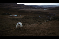 Iceland #2 Black Sheep