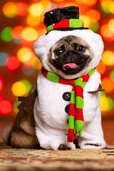Frosty the Pug Mila (zane.hollingsworth) Tags: iso160 160ss 175mm35eqv f28 pugxmascard xmascard belle pugs 175mm mila pug edgar