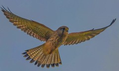 Kestrel(F) (xDigital-Dreamsx) Tags: birdofprey wildlife naturephotography flight falcon raptor