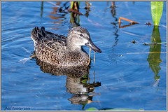 Blue-Winged Teal, female (Stan in FL) Tags: birds bluewingedteal nature teals birding nikond500 tamron150600mm florida ducks