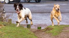 keen to be off! (RCB4J) Tags: ayrshire ayrshirecoast babygrace clydecoast firthofclyde irvinebeach jakob rcb4j ronniebarron scotland siameselurcher sony18250mmf3563dtaf sonyslta77v trailhound art bordercollie dobermanterrier dogs labradors photography retrievers shoragundogs spaniels