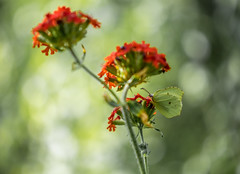 Something red (Dan Österberg) Tags: red colors colours bokeh butterfly flowers soft blur macro nature insects flora