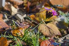 autumn nature scene 15112018 046 (Dirk Buse) Tags: münster nordrheinwestfalen deutschland deu herbst autumn color farbe blatt leaf close up macro plant pflanze natur nature outdoor no people mft mu43 m43 em1ii