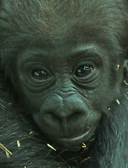 western lowlandgorilla Damsi artis 094A0375 (j.a.kok) Tags: animal artis africa afrika aap ape gorilla mammal monkey mensaap primate primaat westelijkelaaglandgorilla westernlowlandgorilla laaglandgorilla lowlandgorilla dafina damsi