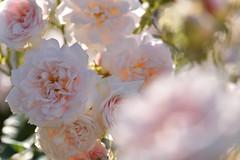 Rose 'Felicia' raised in UK (naruo0720) Tags: rose raisedinuk バラ フェリシア イギリスのバラ イギリスのバラコレクション englishrose d810 sigmaslense sigma105mmf28exdgoshsm englishrosescollection roseraisedinukbynaruo0720 felicia