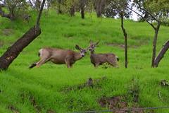DSC_0048 (tracie7779) Tags: blacktaileddeer losangeles muledeer thegettymuseum california grass hillside
