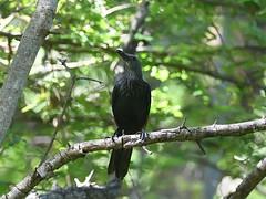 Red-winged Starling (female) (Oleg Chernyshov) Tags: краснокрылыйдлиннохвостыйскворец redwingedstarling onychognathusmorio onychognathusmoriomorio краснокрылыйскворец