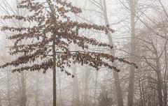 Oak Tree in the Fog-7195 (Geoffrey Shuen Photography) Tags: ladner southarmmarshes oaktree fog