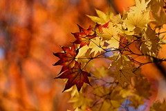 sapporo 665 (kaifudo) Tags: 北海道 札幌 北海道知事公館 紅葉 秋 sapporo hokkaido japan autumn autumnleaves nikon d810 sigmaapomacro150mmf28 sigma 150mm macro kaifudo