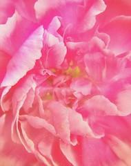 'Pink Frills' Soft Carnation. (Roxy Boyce) Tags: carnations flower petals phototoart bokeh carnation huawei smartphonephotography 38mm iso1250 creative grainy stamen inexplore pastel