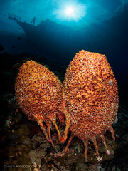 Aliens eggs (Christian Gloor (mostly) underwater photographer) Tags: sponge alien eggs underwater diving sunball boat silhouette orange sun sulawesi indonesia wakatobi nauticam