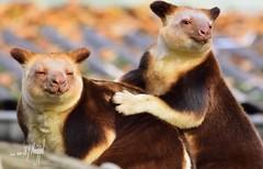 Baumkänguru (hansjrgenknppel) Tags: baumkänguru natur wildtier australien hansjuergen knueppel nikon d 7100 nikkor 300mm f 4