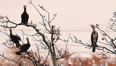 Cormorants (roland_tempels) Tags: supershot birds tree