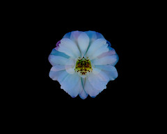 The Orchid Rose (Steve Taylor (Photography)) Tags: rose orchid symmetrical digitalart black blue mauve yellow white newzealand nz southisland canterbury christchurch northnewbrighton flower