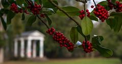 Ilex 1 (KaAuenwasser) Tags: ilex beeren rot makro schlossgarten karlsruhe tempel winter landschaft hintergrund vordergrund architektur bäume baum pflanzen anlage park garten grün