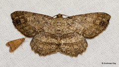 Geometer Moth, Melanolophia sp.? (Ecuador Megadiverso) Tags: amazon andreaskay ecuador geometermoth geometridae moth orkidealodge rainforest tropic melanolophia