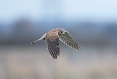 Kestrel Burwell Fen-5888 (seandarcy2) Tags: falcon kestrel birdsofprey raptors bif handheld burwellfen cambs uk fenland birds wildlife