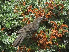 Little Wattlebird (tedell) Tags: little wattlebird royal tasmanian botanical gardens hobart tasmania australia december 2018 bird