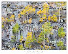 Autumn Aspens, Cliff (G Dan Mitchell) Tags: eastern sierra nevada bishop canyon creek california usa north america fall autumn season color aspen trees grove rock cliff granite colorful yellow gree gold landscape nature