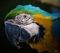 Macaw (SuzieAndJim) Tags: gardenroute southafrica birdpark birdsofeden eye color colour parrot macaw colors birds suzieandjim