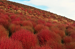 Hitachi Seaside Park (国営ひたち海浜公園) | Ibaraki, Japan (Ping Timeout) Tags: hitachi seaside park ibaraki prefecture hitachinaka 国営ひたち海浜公園 kokuei kaihinkōen flower annual herb large autumn colour color red orange bassia scoparia eurasia desert shrub ragweed summer cypress burning bush plant kochia mexican fireweed kanto north outdoor fall weed garden ball yellow changing colours season hill cloud sky blue skies scene scenery unique popular sight japan nippon holiday travel 東京 日本 october 2018 vacation explore