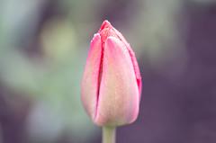 T - Tulip (Tashata) Tags: flower beautiful botanical bokeh macro minimalism magenta green outdoor pink pentax purple nature pentaxk01 smcpentaxdfamacro100mmf28wr