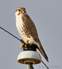 December 15, 2018 - Prairie Falcon hanging out. (Bill Hutchinson)