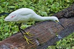 Snowy Egret (Egretta thula)  At Corkscrew Swamp Sanctuary (Susan Roehl) Tags: corkscrewswampsanctuary southwestflorida usa snowyegret egrettathula smallegret white bird animal outdoors closetohome onceendangered sueroehl lumixdmcgh4 100400mmlens handheld ngc npc
