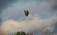 On the way home - Bald Eagle (foto tuerco) Tags: bald eagle sky flight clouds oregon