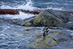 splashy birds (kevin.boyd) Tags: victoria bc clover point dallas road canada fauna pigeon pigeons seagull seagulls gulls seabirds ocean sea waves clouds storm stormy harlequin duck ducks water rock wave