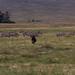 Gnu and Zebras