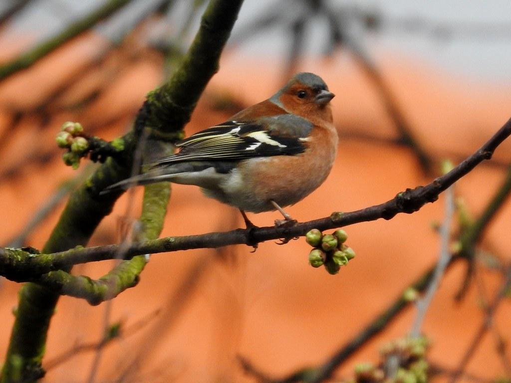 vogel bild heimische vogel buchfink