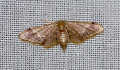 ecosystem/fauna/Geometer Moth(Idaea violacea)-female (biodiversity western ghats(before it is gone)) Tags: geometridae sterrhinae sterrhini diversityindia indianmoths taxonomybinomialidaeaviolacea