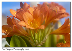 Flowers (Paul Simpson Photography) Tags: flowers nature spring greenhouse plant naturalworld paulsimpsonphotography imagesof imageof photoof photosof sonya77 england petals flowering naturephotography orange orangeflowers