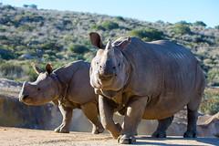 2018_02 rhino SDSP-3 (jplphoto2) Tags: jdlmultimedia jeremydwyerlindgren sandiego sandiegosafaripark blackrhino blackrhinoceros greateronehornedrhinoceros rhino rhinoceros zoo
