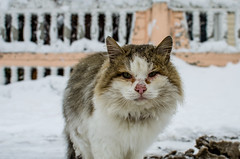 Homeless cat on the street in winter (ivan_volchek) Tags: animal animals appearance beautiful cat cats cold color colorful cute domestic domesticanimal domesticcat feline fluffy frost fur furry homeless kitten kittens landscape mammal mammals mustache nature pets season snow snowy white winter