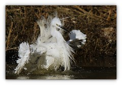 Aigrette garzette - Little Egret (Pascale Ménétrier Delalandre) Tags: aigrettegarzette egrettagarzetta littleegret pélécaniformes ardéidés tamron150600mmdivcusd canoneos7dmarkii faune wildlife oiseau bird pascaleménétrierdelalandre france