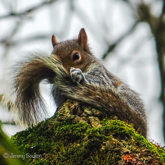 My tail? (JKmedia) Tags: newquay squirrel grey tail how nature animal mammal 2019 square