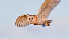 Barn Owl (Terry Angus) Tags: owl barnowl birdofprey predator hunting