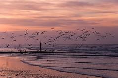Flying seagulls over sea (ARTUS8) Tags: nikon18105mmf3556 flickr buhne tier nikond90 meer strand sonnenaufuntergang möwe sonnenuntergang blauestunde bluehour sunset