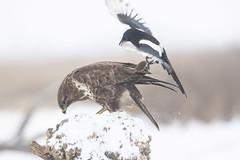 Buzzard (CliveDodd) Tags: picapica magpie buzzard buteobuteo
