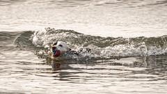 on the crest of a wave (RCB4J) Tags: art ayrshire ayrshirecoast babygrace dogwalking dogs irvinebeach jakob photography rcb4j ronniebarron scotland siameselurcher sigma150500mmf563dgoshsm sonyilca77m2 trailhound wave surfing ridingalongonthecrestofawave