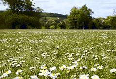 32658089_2025940987628226_9166335747337224192_o (SMRB Photography) Tags: daisy daisies cricketpitch shoreham kent summer nikon