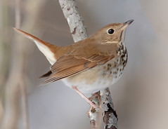 Hermit Thrush (tresed47) Tags: 2019 201901jan 20190114marylandbirdsbb birds blackwaternwr canon7dmkii content folder hermitthrush january maryland peterscamera petersphotos places season takenby thrush us winter